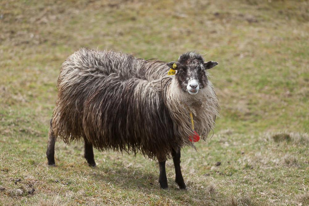 Färöer Inseln Schafe