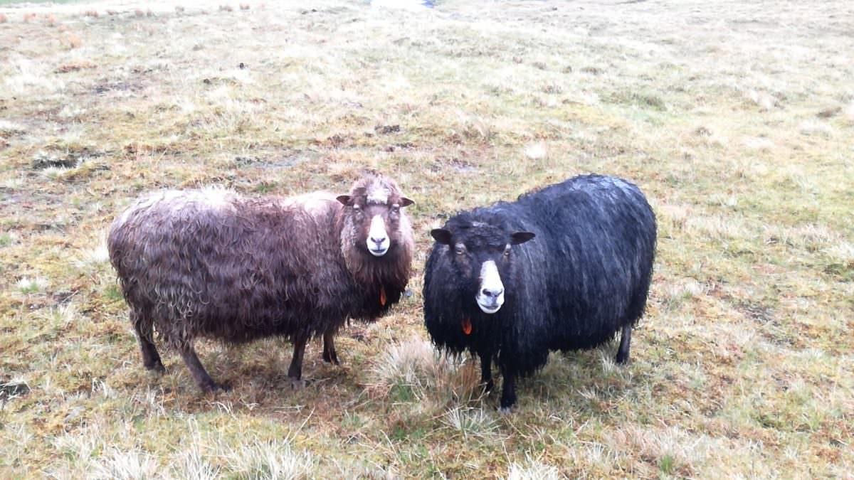 Sheep and Sheep Färöer Inseln